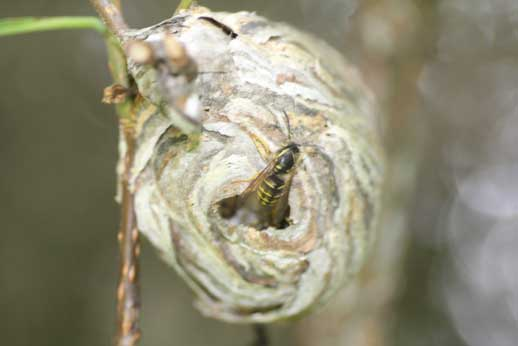 North-Vancouver-wasp-nest-removals