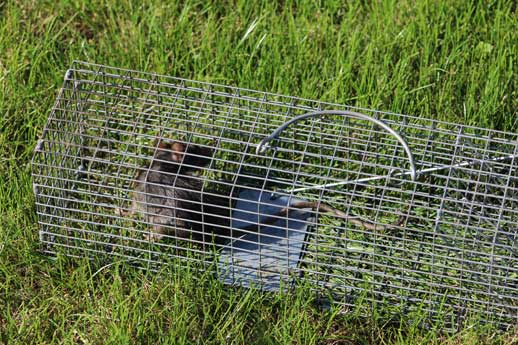 North-Vancouver-Rodent-removals