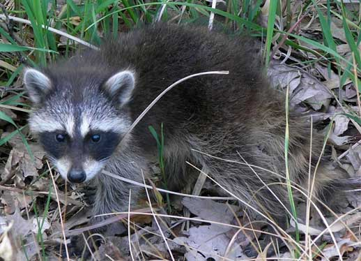 North Vancouver Humane Raccoon Removal